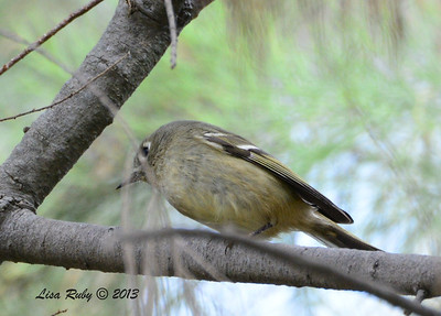 Ruby-crowned Kinglet - Bird and Butterfly Garden - 10/27/13