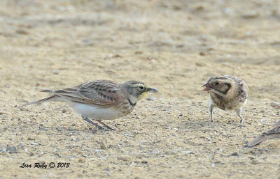Lapland Longspur (right) and Horned Lark (left)- Fiesta Island - 10/27/13