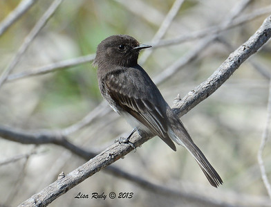 Black Phoebe - Dairy Mart Stick Pond - 10/27/13