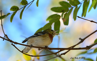 Bay-breasted Warbler - 2/7/2014 - UTC, Executive Drive