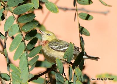 Bay-breasted Warbler - 2/7/2014 - UTC, Executive Drive
