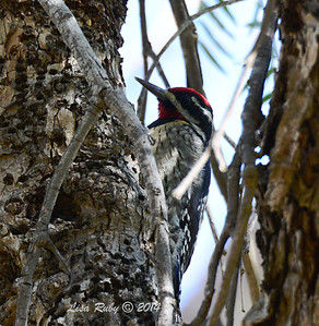 Red-naped Sapsucker - 2/7/2014 - Oak Hill Memorial Park, Escondido