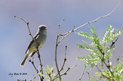 Hammond's Flycatcher - 4/6/2014 - Agua Caliente County Park, San Diego