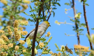 Verdin - 4/6/2014 - Agua Caliente County Park, San Diego
