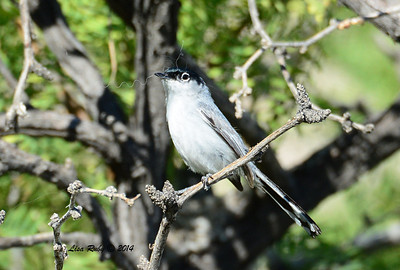 Black-tailed Gnatcatcher - 4/6/2014 - Agua Caliente County Park, San Diego