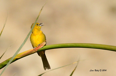 Female Hooded Oriole - 4/6/2014 - Agua Caliente County Park, San Diego