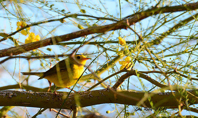 Wilson's Warbler - 4/6/2014 - Agua Caliente County Park, San Diego