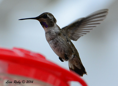 Immature Male Costa's Hummingbird - 8/2/2014 - Backyard, Sabre Springs