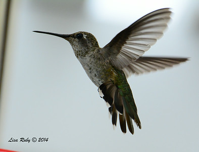 Unknown species Hummingbird, Juvenile Anna's maybe? - 8/2/2014 - Backyard, Sabre Springs