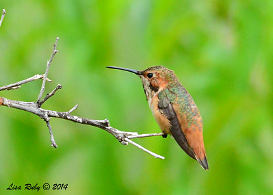 Immature Male Selasphorus Hummingbird - 8/2/2014 - Backyard, Sabre Springs
