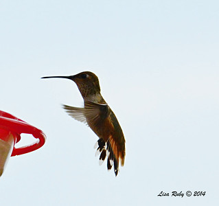 Immature Selasphorus Hummingbird - 8/2/2014 - Backyard, Sabre Springs