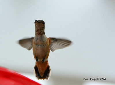 Immature Selaphorus Hummingbird - 8/2/2014 - Backyard Sabre Springs