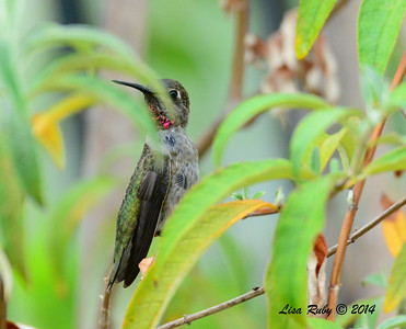 Immature Male Anna's Hummingbird - 8/2/2014 - Backyard, Sabre Springs