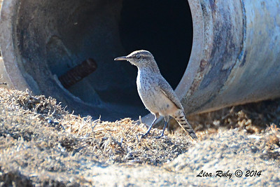 Rock Wren - 11/8/2014 - Sod Farm