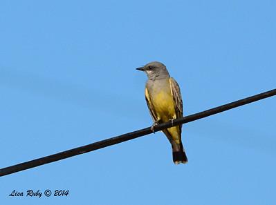 Cassin's Kingbird -  11/8/2014 - Sod Farm
