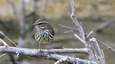 Northern Waterthrush - Dairy Mart Pond - 09-28-2014