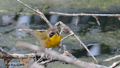 Common Yellowthroat (transition, molting? plumage is different)- 09/28/2014 - Dairy Mart Ponds