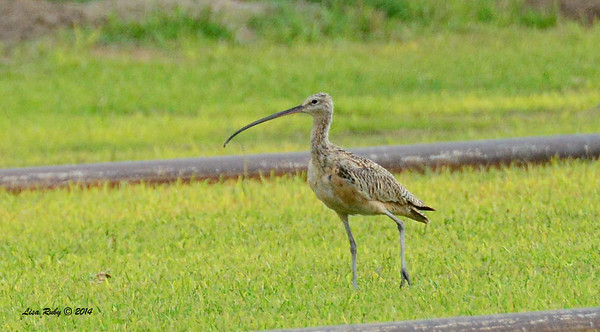 Long-billed Curlew - 09/28/2014 - Sod Farm