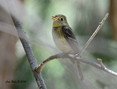 Pacific-slope Flycatcher  - 6/29/2014 - Bird and Butterfly Garden, Imperial Beach