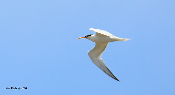 Elegant Tern -  6/29/2014 - Tijuana Estuary Preserve, Imperial Beach