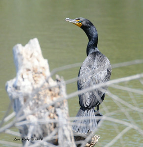Double-crested Cormorant - 6/29/2014 - Dairy Mart Pond