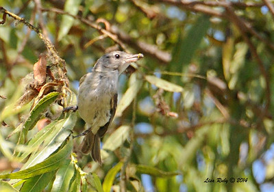 Least Bell's Vireo  - 6/29/2014 - Dairy Mart Pond