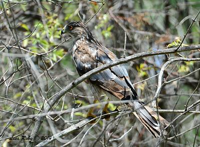Immature Cooper's Hawk  - 6/29/2014 - Bird and Butterfly Garden, Imperial Beach