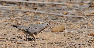 Common Ground Dove  - 6/29/2014 - Dairy Mart Pond