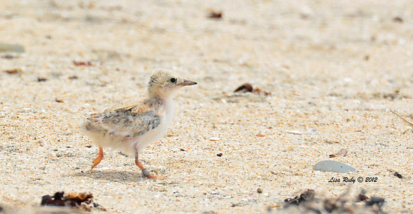Least Tern Chick (already banded) -  6/15/2014 - Imperial Beach River Mouth area