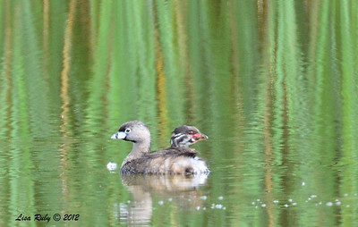 Pied-billed Grebe Adult and Juvenile - 6/15/2014 - Dairy Mart Ponds