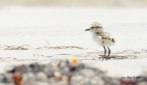 Snowy Plover Chick  -  6/15/2014 - Imperial Beach River Mouth area