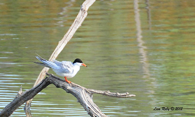 Forster's Tern - 6/15/2014 - Dairy Mart Ponds