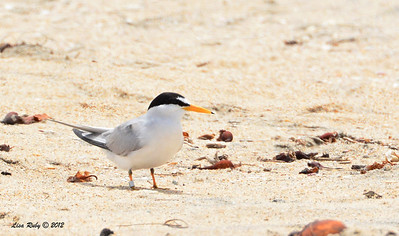 Least Tern -  6/15/2014 - Imperial Beach River Mouth area