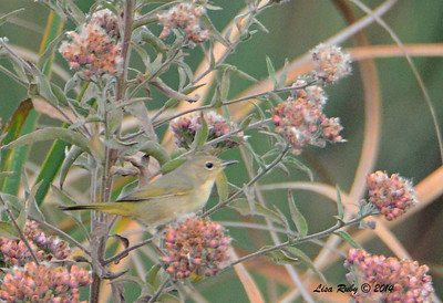 Common Yellowthroat - 10/26/2014 - Dairy Mart Stick Pond