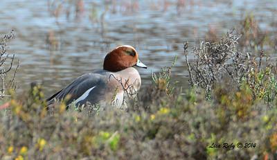 Eurasian Wigeon - 10/26/2014 - Famosa Slough