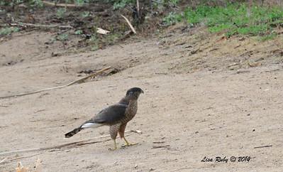 Cooper's Hawk - 2/16/14 - Dos Picos Park