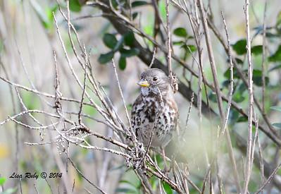 Fox Sparrow - Slate? - 2/16/14 - Dos Picos Park, Ramona