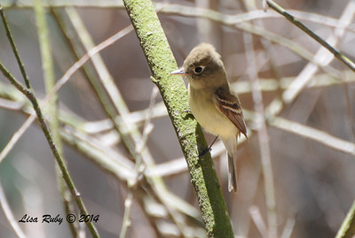 Pacific-slope Flycatcher - 5/26/2014 - Batiquitos Lagoon