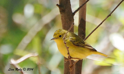 Yellow Warbler - 5/26/2014 - Batiquitos Lagoon