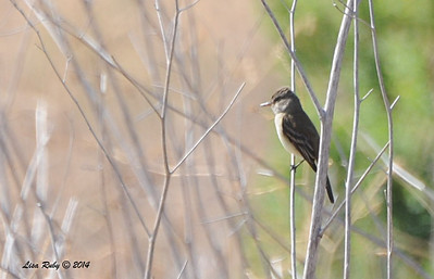 Willow Flycatcher - 5/26/2014 - El Arbol Dr and Manzano Dr