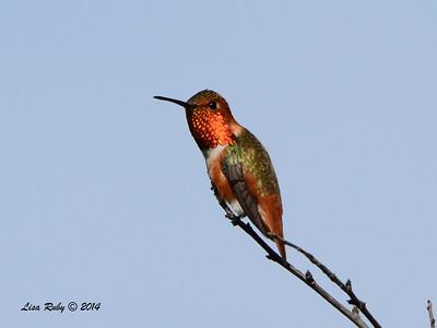Allen's Hummingbird - 1/12/2014 - Crest Drive, Encinitas