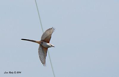 Scissor-tailed Flycatcher - 1/12/2014 - Crest Drive Encinitias