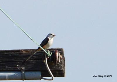 Scissor-tailed Flycatcher - 1/12/2014 - Crest Drive, Encinitas