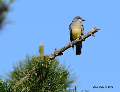 Cassin's Kingbird - 1/12/2014 - Crest Drive, Encinitas