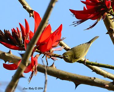 Orange-crowned Warbler - 1/12/2014 - Arden Drive, Encinitas