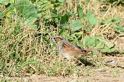 Swamp Sparrow - 1/12/2014 - Aviara Golf Course trail