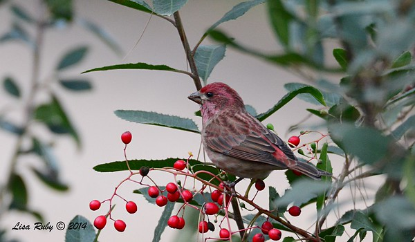 Purple Finch - 12/28/2014 - Woods Valley Campground, , Escondido CBC