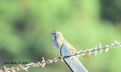 Green-tailed Towhee - 9/14/2014 - FRNC