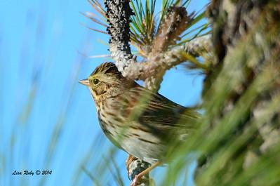 Savannah Sparrow? Need ID confirmation - 11/2/14 - FRNC