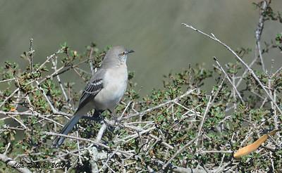Northern Mockingbird - 11/2/14 - FRNC
